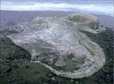 A 13 tonne mass of rotting creature tissue that was discovered in Chile in 2003.