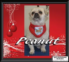 🎅This Little guy - Peanut! He's all cleaned up for the holidays. Small Breed, Dog Grooming, Guy, Holidays, Dogs, Poster, Holidays Events, Holiday, Pet Dogs