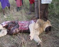 SOS FOR LIONS! STOP (IN)BREEDING, STOP (CANNED) HUNTING, STOP ABUSE! Sign please.