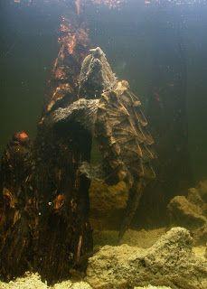 Alligator snapping turtle, Macrochelys temminckii