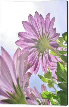df01eed84a5e Sunburst Osteospermum   Cape Daisy Poster by Richard Brookes. All posters  are professionally printed