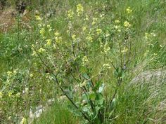 Black Mustard: the spice of life | Nature Notes from Dorset