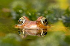 UK Common frog, Rana temporaria by Angi Nelson