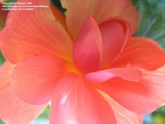 shades of peach | ... Begonia 'Fortune Peach Shades' (Begonia x tuberhybrida) 2 by tiffanya