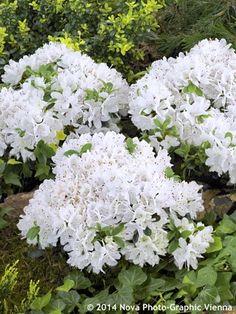 Rhododendrons, azaleas, and mountain laurels Japonica, Beautiful Flowers, Beautiful Gardens, Wild Flowers, Shade Garden, Azaleas, White Plants, Mountain Laurel, Plants