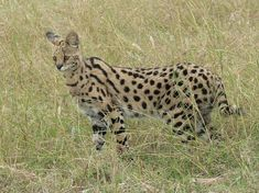 felinos_en_peligro. Serval. Le encanta vagar por las sabanas africanas. Es el felino con las patas más largas.