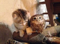 kitten-owl-best-friends-Why can't humans get along..when these natural predators can.