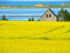 Beautiful view of the canola field and the sand hills on a hot July day, Prince Edward Island Beautiful Islands, Beautiful Places, Canola Field, Scenery Pictures, Visit Canada, Explorer, Prince Edward Island, World Photography, Anne Of Green Gables