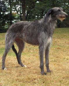 Scottish Deerhound- my future doggie. They're big lovable bears!