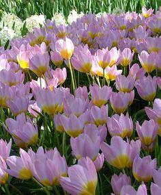 Tulips - Selections from the Van Engelen Flower Bulbs Catalog