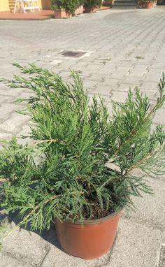 Juniperus Green Verde Vaso 3L