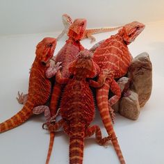 Red juveniles