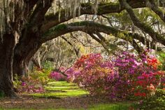 Magnolia Plantation Gardens is a Childrens Attraction in Charleston. Plan your road trip to Magnolia Plantation Gardens in SC with Roadtrippers. Magnolia Plantation, Charleston Attractions, Louisiana, Historic Homes, Beautiful Gardens, Beautiful Places, Beautiful Scenery, Simply Beautiful, Gardens