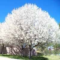 The Aristocrat Flowering Pear Tree is attractive in all four seasons. This fast growing, hardy, flowering pear tree will delight year round. Flowering Pear Tree, Pear Trees, Spring Blooming Trees, Online Plant Nursery, Buy Plants Online, Spring Landscape, Landscape Design, Planting Shrubs, Moon Garden