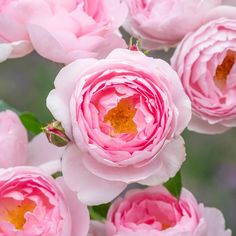 Fragrant Roses, Shrub Roses, Pretty Roses, Beautiful Roses, Deadheading Roses, Queen Of Sweden, Rose Delivery, Traditional Roses, Little Buds