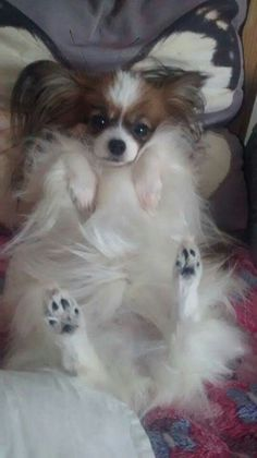 a typical papillon position