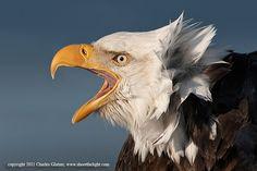 Bald Eagle screaming by Charles Glatzer