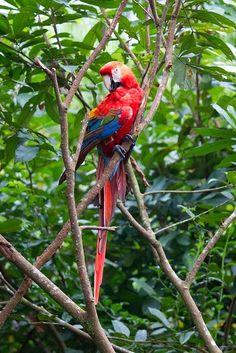 Ecuador Proud Parrot