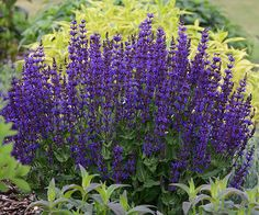 Here's a plant that truly lives up to its name. 'Violet Riot' perennial salvia is a wild riot of violet-purple flower spikes throughout the spring and summer! http://www.bhg.com/gardening/gardening-trends/new-perennials-for-2015/?socsrc=bhgpin050915salviavioletriot&page=13