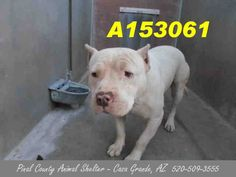 URGENT! THIS POOR GUY HAS 4 SHARES ON FACEBOOK! This is a miserable looking shelter!! Animal ID#A153061  Status: STRAY WAIT. I am a male, white Pit Bull Terrier about 4 years old. PLEASE JUST HIT THE PIN OR SHARE BUTTON -- THIS GUY DESERVES A CHANCE! Pinal County, AZ. https://www.facebook.com/photo.php?fbid=469975526438060&set=a.397881533647460.1073741849.120830141352602&type=3&theater