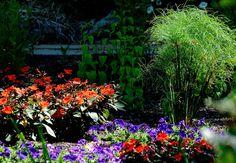 Colors and Texture-King Tut Papyrus, Blue Wave Petunias, SunPatiens Compact Orange-May 27
