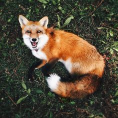 """My little fairytale creature  #fox #petfox #redfox #foxesofinstagram #cutepets #babyfox #vulpes #foxkit #exoticpets #instapet #igdaily #vsco #vscocam…"""