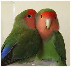 Peachfaced lovebird.