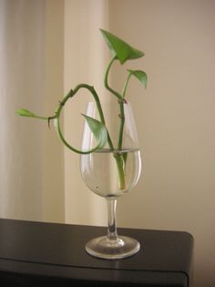 Golden Pothos aren't fussy about light or water or fertilization and when it comes to how to propagate a pothos, the answer is as easy as the node on your stem. Learn more in this article. Pothos In Water, Water Plants, Water Garden, Ivy Plants, Garden Plants, Indoor Plants, Inside Plants, Hanging Plants, Indoor Outdoor