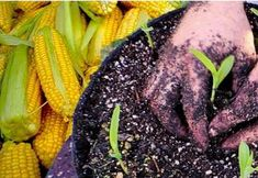 Cómo sembrar maiz en maceta. Cultivo de maiz en casa Flower Planters, Bonsai, Cactus, Vegetables, Flowers, Plants, Montevideo, Terracota, Bedspreads