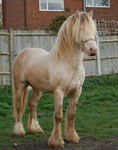 Harrie, Gypsy Horse  (one cream, one pearl)