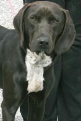Scout is an adoptable German Shorthaired Pointer Dog in Washington, DC.