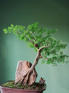 The ancient Japanese art of Bonsai creates a miniature version of a fully grown tree through careful potting, pruning and training. Even if you& not zen enough to labour over your own Bonsai,. Ikebana, Plantas Bonsai, Bonsai Plants, Bonsai Garden, Bonsai Trees, Succulents Garden, Air Plants, Cactus Plants, Bonsai Ficus