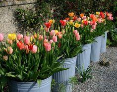 Tulips in Galvanized Trash Bins in Helen Dillon's Irish Garden, Gardenista