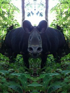 What happens when you mix new #technology and a #Tapir? A new species of course! #Iphone5