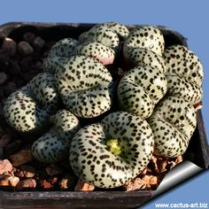 Conophytum | The plants of Conophytum obcordellum vary considerably in relation to ...