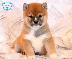 Jeffrey   Shiba Inu Puppy For Sale   Keystone Puppies Puppy Finder, Labrador Retriever, Retriever Puppies, Buy A Dog, Shiba Inu, Puppies For Sale, Cute Dogs, Fox, Animals