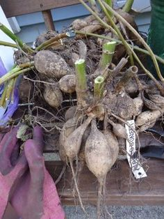 How to overwinter dahlias - Best Organic Ideas - Tipos de Jardim Dahlia Care, Dahlia Flower, Cut Flower Garden, Flower Farm, Flower Gardening, Container Gardening, Cut Garden, Garden Junk, Summer Garden
