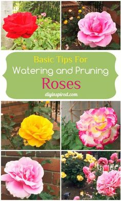 Rose Gardening For Beginners Basic Tips for Watering and Pruning Roses. Absolutely love growing roses, some really great tips in this post! - Caring for roses for beginners including basic tips for watering and pruning roses. Gardening For Beginners, Gardening Tips, Container Gardening, Pallet Gardening, Rose Winter, Comment Planter Des Roses, Pruning Roses, Rose Garden Design, Rose Care