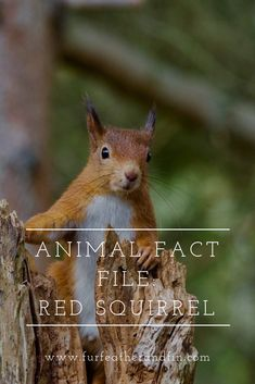 Animal Fact File: Red Squirrel You are in the right place about animal facts funny Here we offer you Animal Fact File, Animal Facts For Kids, Fun Facts About Animals, Animals For Kids, Red Squirrel Facts, Animals Information, British Wildlife, Extinct Animals, Cute Pictures