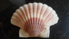 Coquille Saint Jacques, Sea Creatures, Palm Trees, Sea Shells, Fossil, Beautiful Things, Birth, Angel, Illustrations