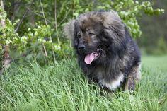 CAUCASIAN SHEPHERD DOG/CAUCASIAN SHEEPDOG/CAUCASIAN OVCHARKA Caucasian Shepherd Dog, Purebred Dogs, Animals, Animales, Animaux, Animal, Animais