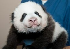 "THIS JUST IN: The National Zoo Panda Name Is….Bao Bao! The Washington Post says that means ""'precious or treasure' and is pronounced 'bough bough.'"""