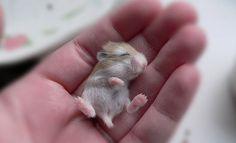 O pequenos hamster dorme na mão de uma pessoa  (Foto: Marjolein/onebigphoto.com)