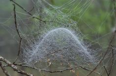 Sheet web spiders (Linyphiidae) make Filmy dome spiders m
