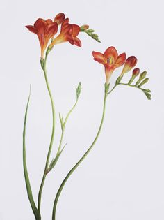 Dianne Sutherland: Society of Staffordshire Artistas e da Indústria Cerâmica Realistic Flower Drawing, Flower Drawing Tutorials, Abstract Flowers, Watercolor Flowers, Watercolor Paintings, Flower Names, Flower Art, Art Flowers, Botanical Flowers