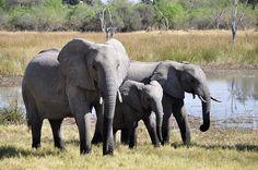 Kostenloses Bild auf Pixabay - Elefanten, Afrika, Okavango-Delta