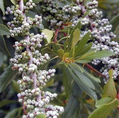 Wax Myrtle is also known as a Bayberry, because the wax can be separated from the fruit in boiling water to make fragrant bayberry scented candles. If you are crafty and enjoy making candles, this plant is a must have. $36.98