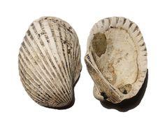 Bivalve, Aboriginal Shell Midden, Cameraygal Clan, Gai-mariagal Tribe, Lane Cove Boatshed, Lane Cove National Park, NSW (38.8g)
