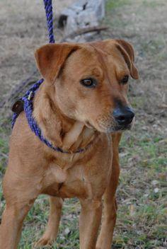 02/16/14 Benny  Labrador Retriever & Terrier Mix • Adult • Male • Medium  Canyon Lake Animal Shelter Society Canyon Lake, TX