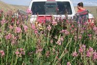 Shoshone Sainfion Seed | BIGHORN SAINFOIN SEED CO. | Susan George